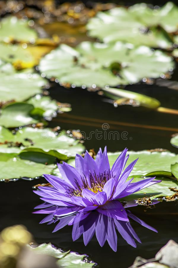 Beautiful Purple lotus and shadow reflected in the water.  stock images