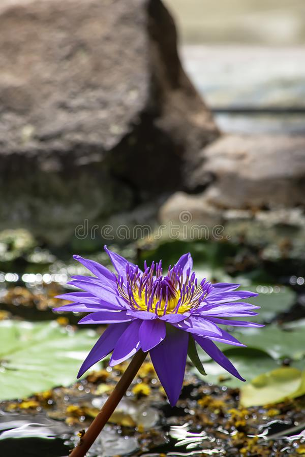 Beautiful Purple lotus and shadow reflected in the water.  royalty free stock photography