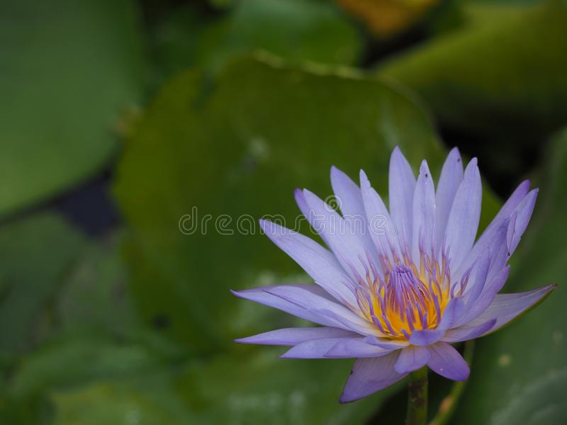 Purple flower water lily. Beautiful purple lotus with water droplets on the petals blooming in the pond and green lotus leaves around royalty free stock image