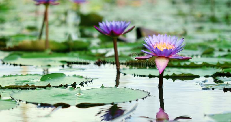 Beautiful purple lotus , a water lily flower in pond stock photography