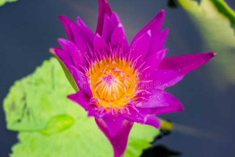 Beautiful purple lotus on the water after rain stock photography