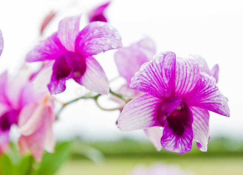 Download Beautiful purple orchid stock image. Image of gift, color - 20827807