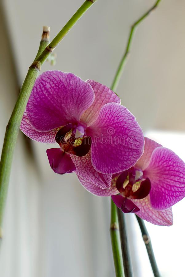 Beautiful purple Orchid flower on a blurred background. Phalaenopsis orchid. Close up royalty free stock images