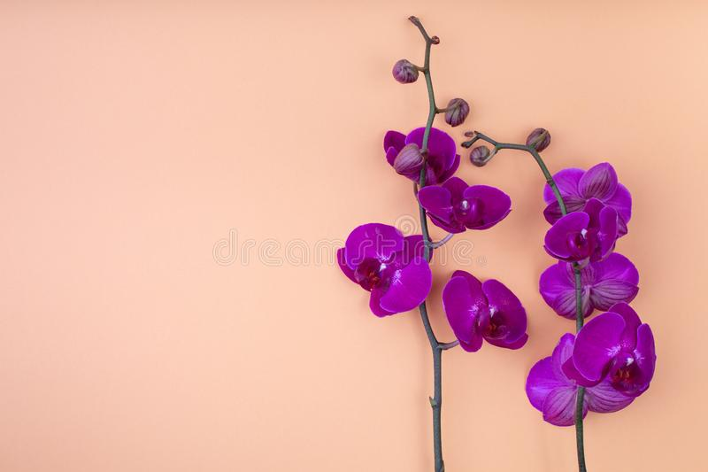 Beautiful purple orchid flowers on the beige background, with copyspace for text, top view, flat lay.  stock image