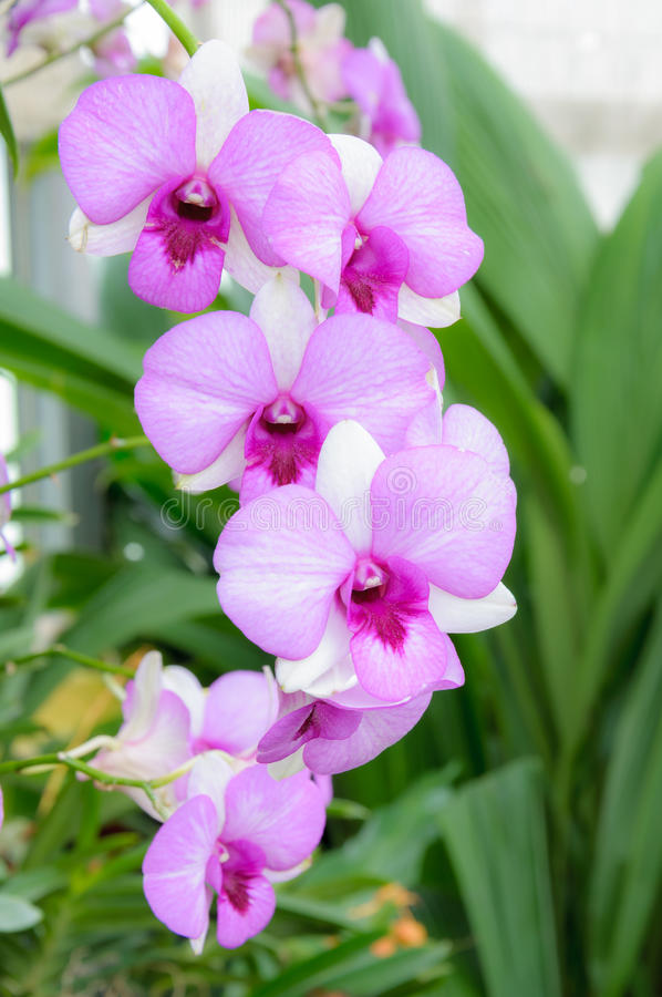 Beautiful purple orchid flowers cluster. stock photo