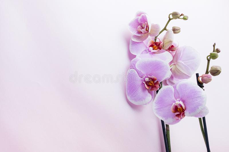 Beautiful purple orchid flowers on light background with copyspace for text, top view, flat lay stock photo