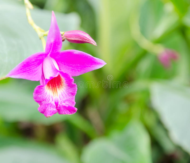 Beautiful purple orchid. In the garden stock photography