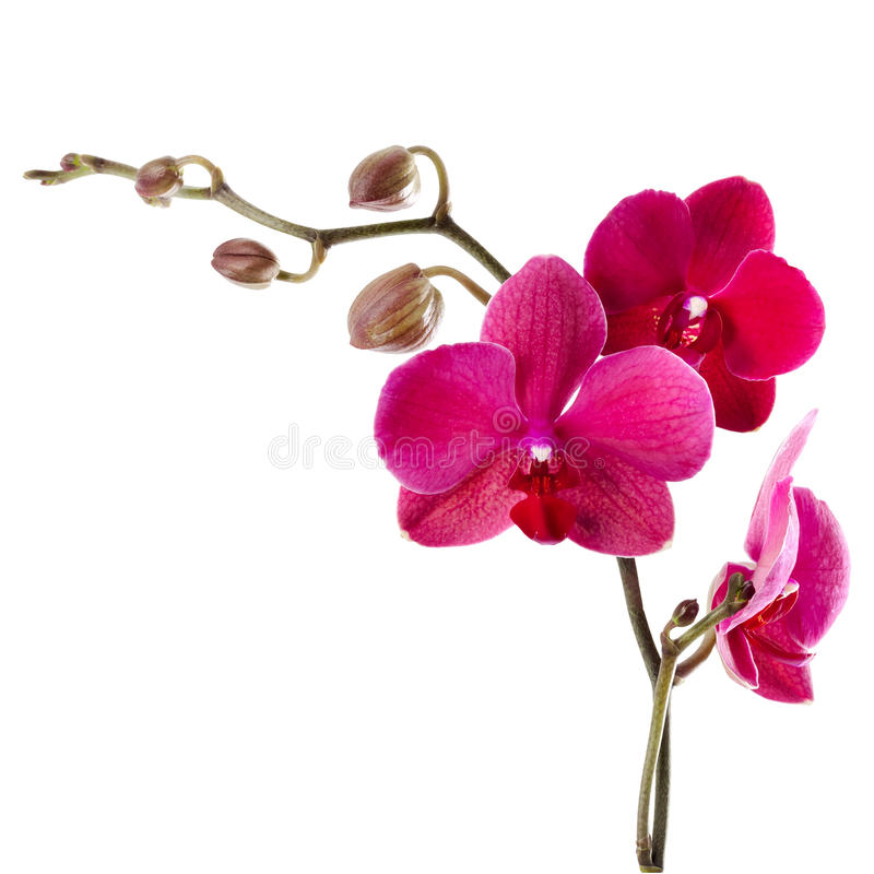 Download Beautiful Purple Orchid On A White Background Stock Image - Image: 31720405