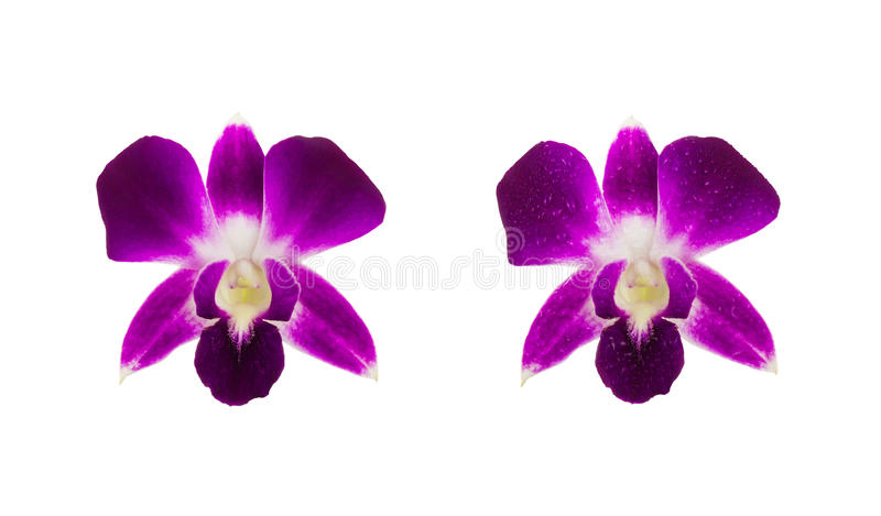 Beautiful Purple orchids and orchid with water drops separated s royalty free stock photography
