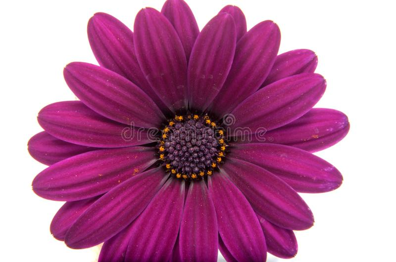 Beautiful purple osteospermum or african daisy. Pink flower isolated on white stock photography
