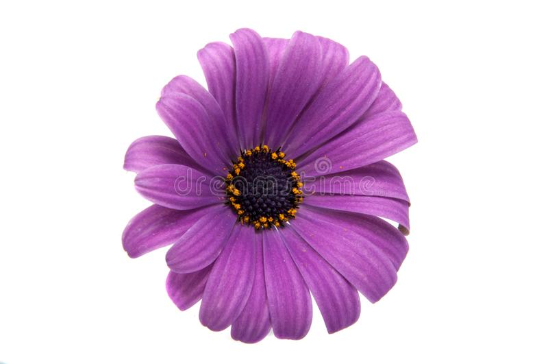 Beautiful purple osteospermum or african daisy flower isola royalty free stock photo