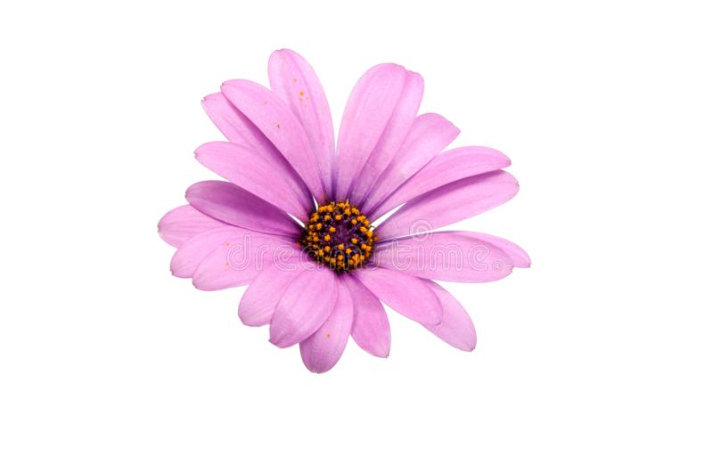 Beautiful purple osteospermum or african daisy pink flower. Isolated on white royalty free stock photography