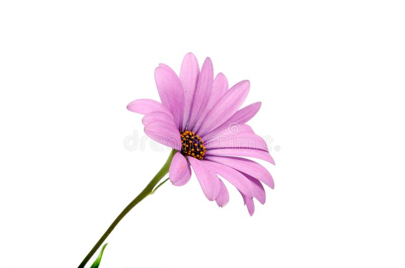 Beautiful purple osteospermum or african daisy pink flower. Isolated on white stock photos