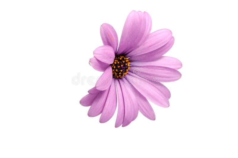 Beautiful purple osteospermum or african daisy pink flower. Isolated on white stock photo