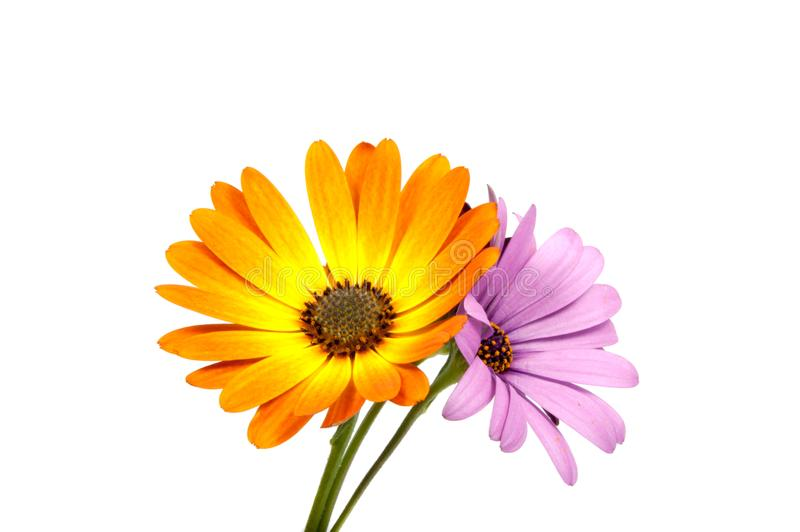 Beautiful purple osteospermum or african daisy pink flower. Isolated on white royalty free stock photos