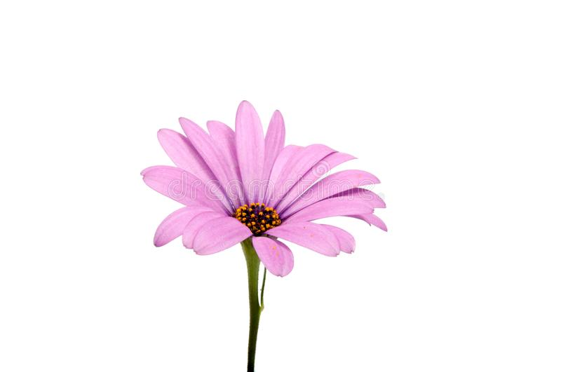 Beautiful purple osteospermum or african daisy pink flower. Isolated on white royalty free stock image