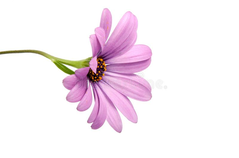 Beautiful purple osteospermum or african daisy pink flower. Isolated on white royalty free stock photo