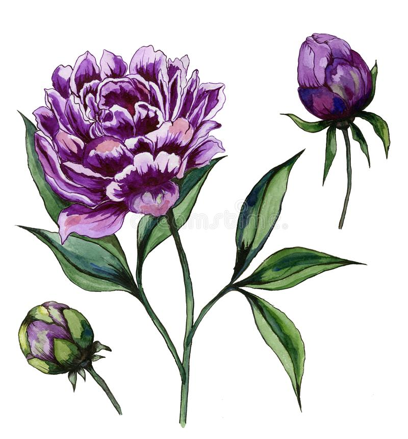 Beautiful purple peony flower on a stem with green leaves. Set - flower and two buds isolated on white background. Watercolor painting. Hand drawn and painted vector illustration