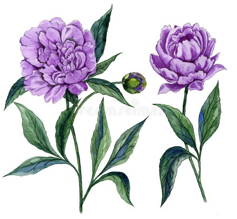 Beautiful purple peony flower on a stem with green leaves. Set of two flowers isolated on white background. Watercolor painting. royalty free illustration