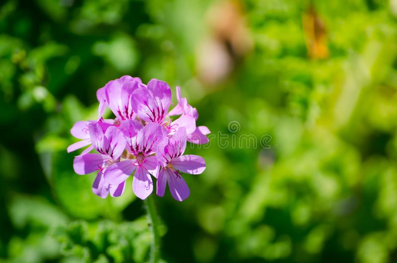 Beautiful purple petal flower in a spring season at a botanical garden. A Beautiful purple petal flower in a spring season at a botanical garden royalty free stock photos