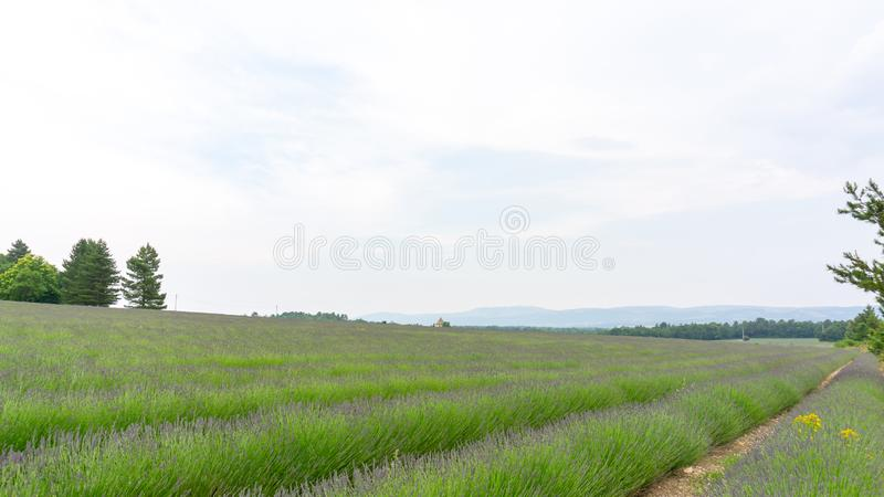 Beautiful purple petals of Lavender young bud flower blossom on green leaves in row at a field under cloudy sky. Trees and mountain on background royalty free stock photos
