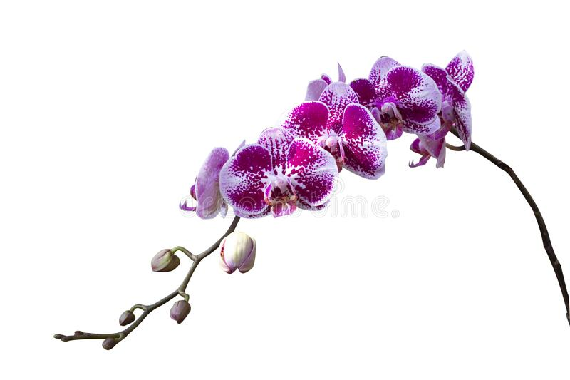 Beautiful purple Phalaenopsis orchid flowers, isolated on white background.  royalty free stock photography