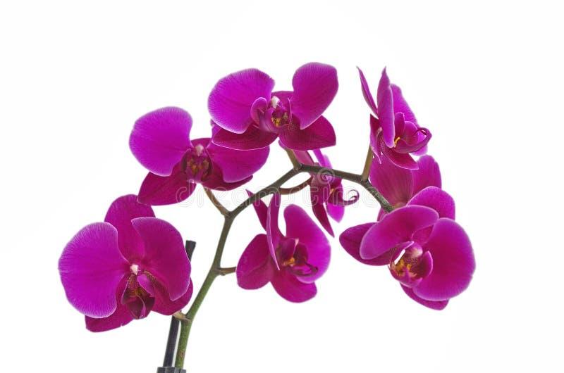 Beautiful purple Phalaenopsis orchid flowers, isolated on white background stock images
