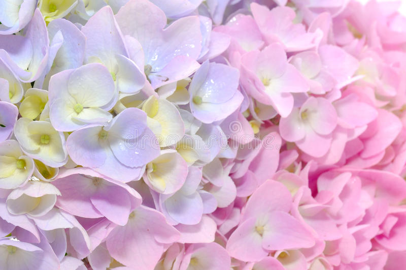 Beautiful Purple and Pink Hydrangea Flowers stock photography