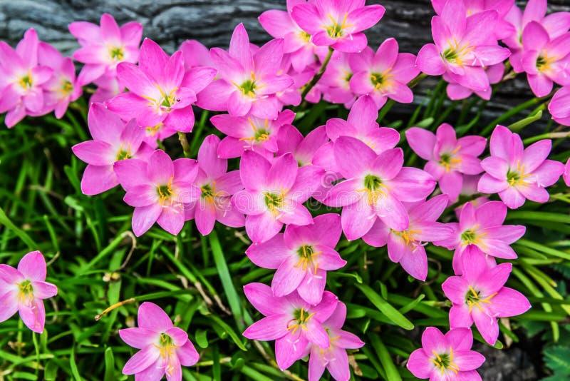 Beautiful purple rain lily flower stock photo