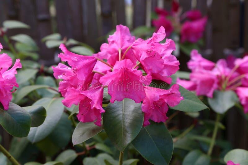 Beautiful Purple Rhododendron bloom stock photo