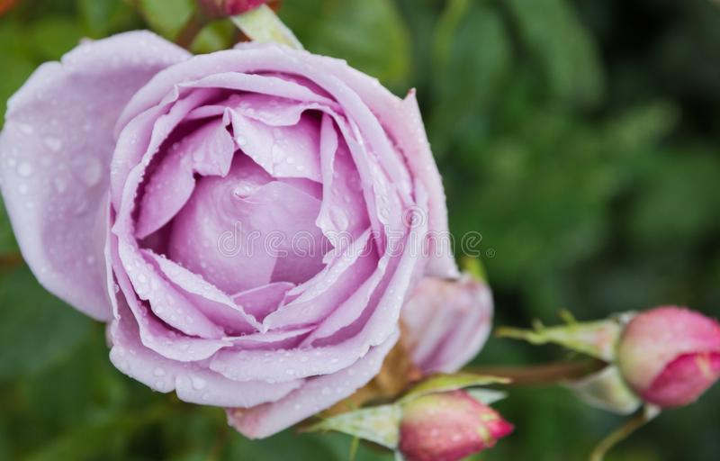 Beautiful purple rose in the garden with rain drops, selective focus.  royalty free stock image