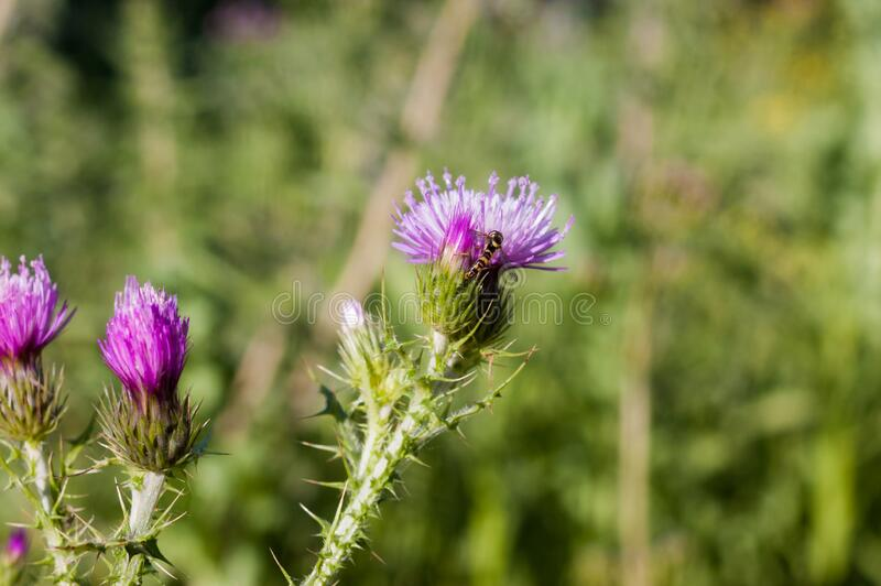 Beautiful purple thistle in the field with a green background stock photo