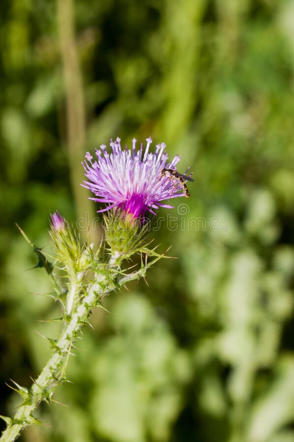 Beautiful purple thistle in the field with a green background stock photos