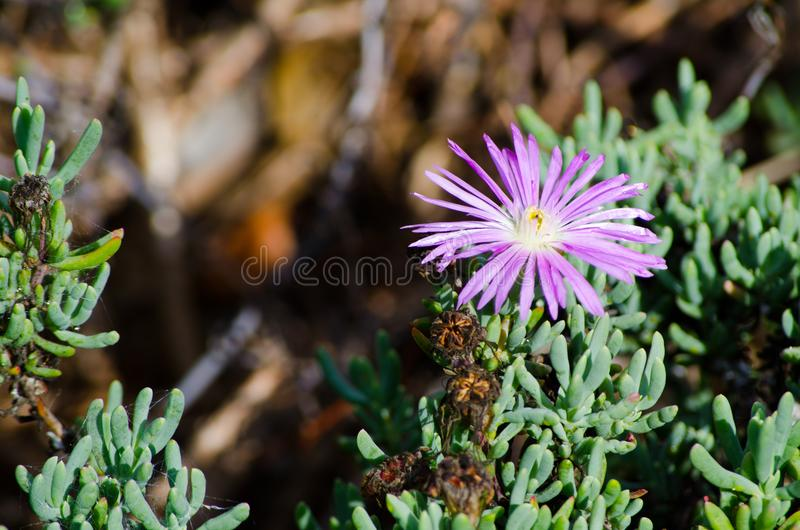 Beautiful purple Trailing Ice Plant flower Lampranthus spectabilis in a spring season at a botanical garden. stock photo