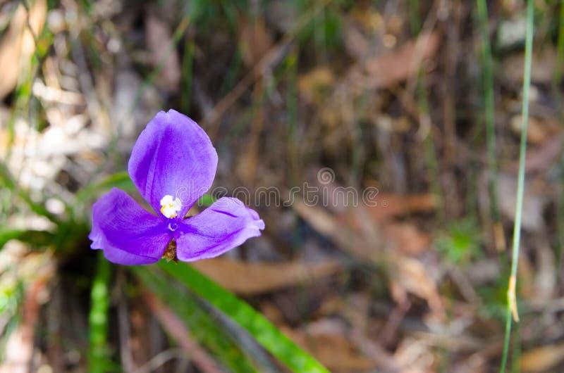 Beautiful Purple triangle wildflower in a Australia rainforest. royalty free stock photos