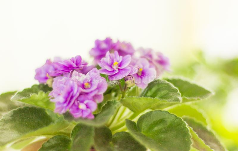 Beautiful purple violets on the windowsill during flowering stock photography