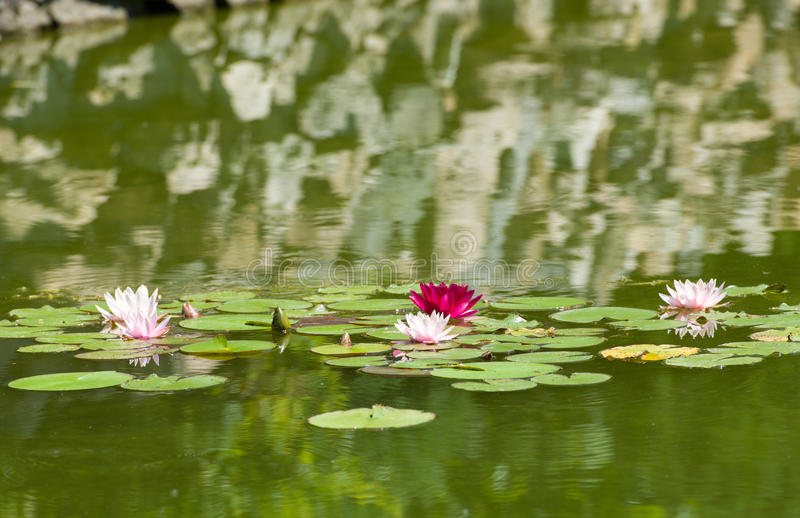 Beautiful Purple Water Lilies Floating on a Lake. Summer time royalty free stock images