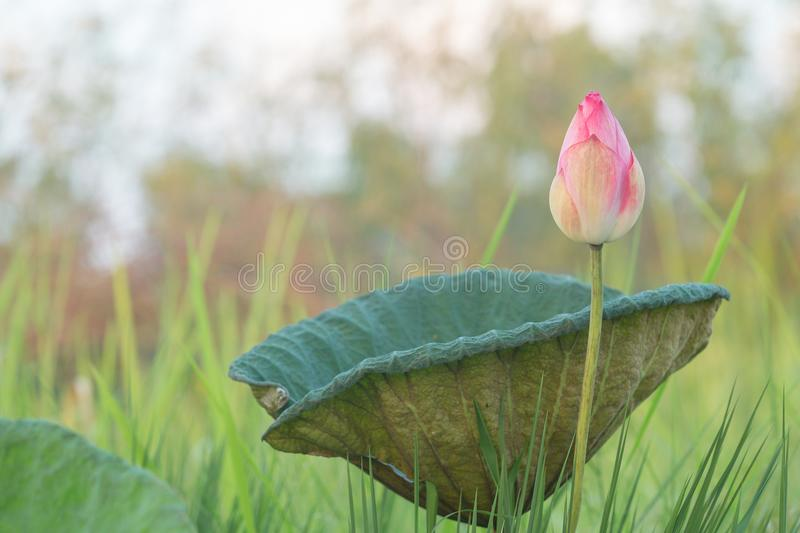 Beautiful purple water lily bloom. In green nature background and mist in the moring , lotus royalty free stock photography