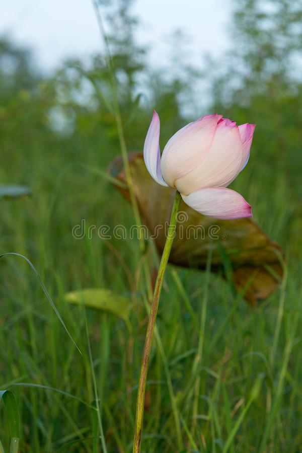 Beautiful purple water lily bloom. In green nature background , lotus stock photos
