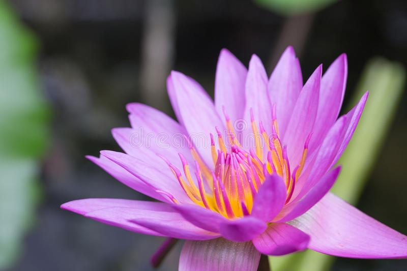 Beautiful purple water lily bloom in the pond ,. Lotus stock photo