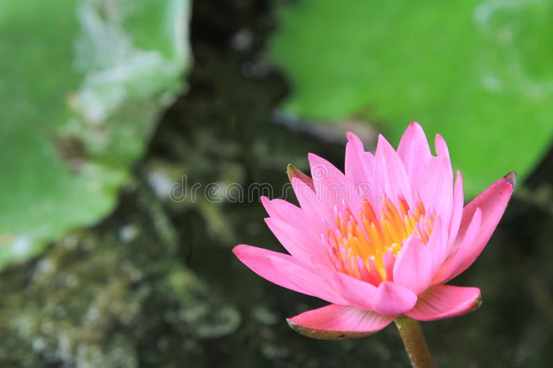 Beautiful purple water lily bloom in the pond ,. Lotus royalty free stock image