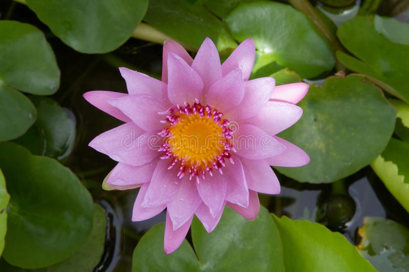 Beautiful purple water lily bloom in the pond ,. Lotus stock photos