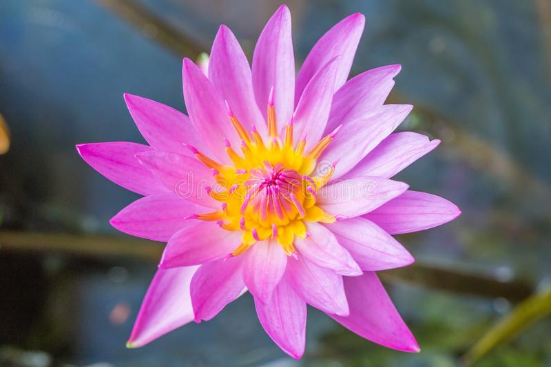 Beautiful purple water lily bloom in the pond ,. Lotus royalty free stock photos