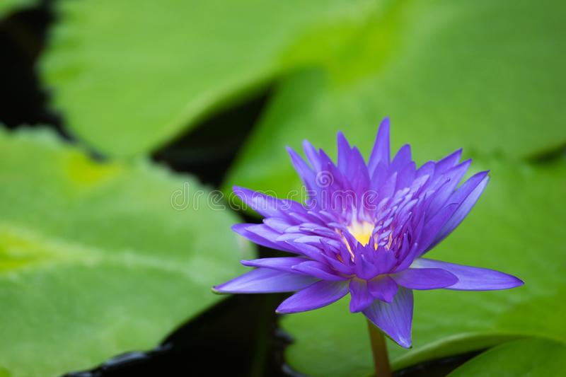 Beautiful purple water lily blooming on water surface and green leaves toned, purity nature background, aquatic plant or lotus flo. Wer in pond. soft focus stock photography