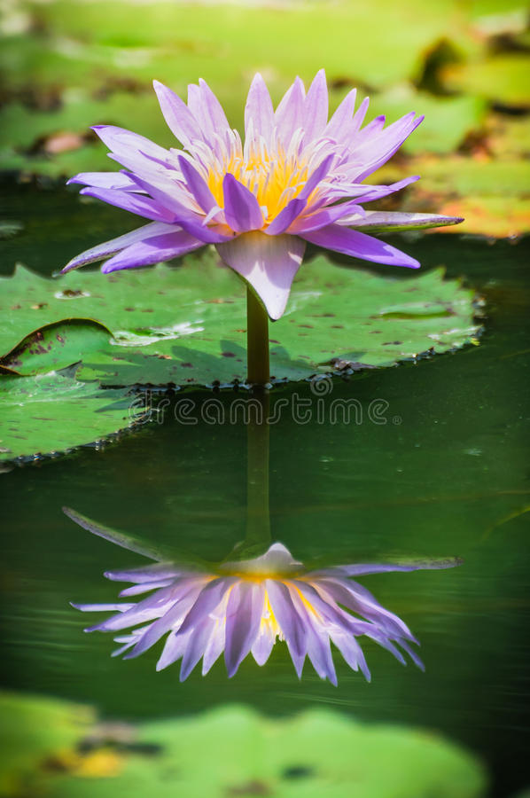 Beautiful purple water-lily or lotus with reflection. Close-up of beautiful purple water lily or lotus blooming with yellow pollen and its reflection on green royalty free stock image