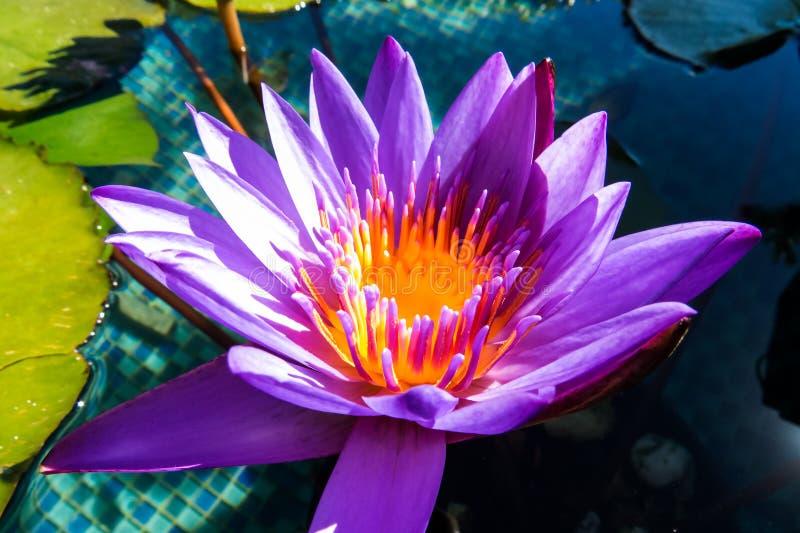Beautiful Purple Water Lily. A beautiful purple and orange water lily close-up photo. New Providence, Nassau, Bahamas stock image