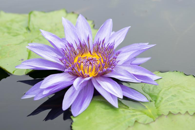 Purple water lily in a pond at Botanical garden. Beautiful purple water lily in a pond at Botanical garden in summer stock photos