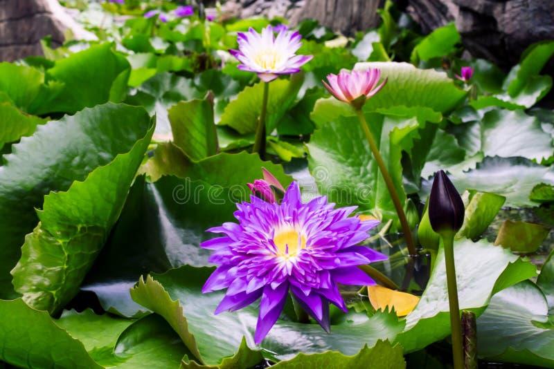 Beautiful purple waterlily or lotus flower in pond dark green background royalty free stock photos