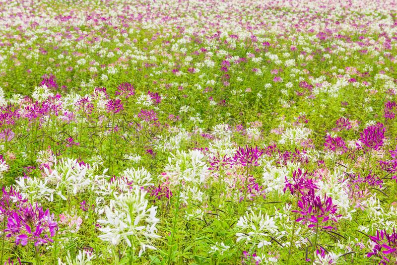 Beautiful purple and white flowers in bloom, Jilin, China stock photos