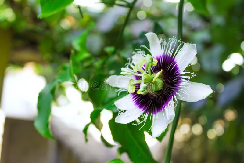 Maracuja Passiflora edulis flower. Beautiful purple and white maracuja passion fruit passiflora edulis flower royalty free stock image